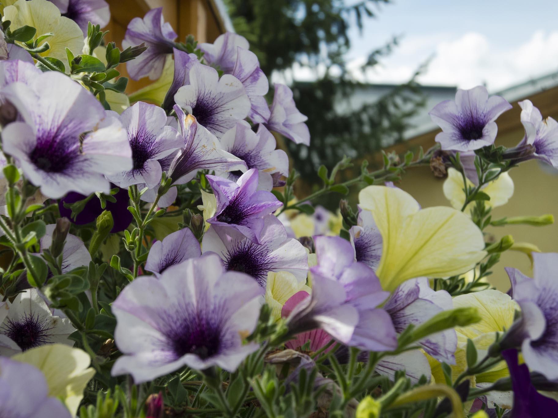 Sulla Collina, flowers