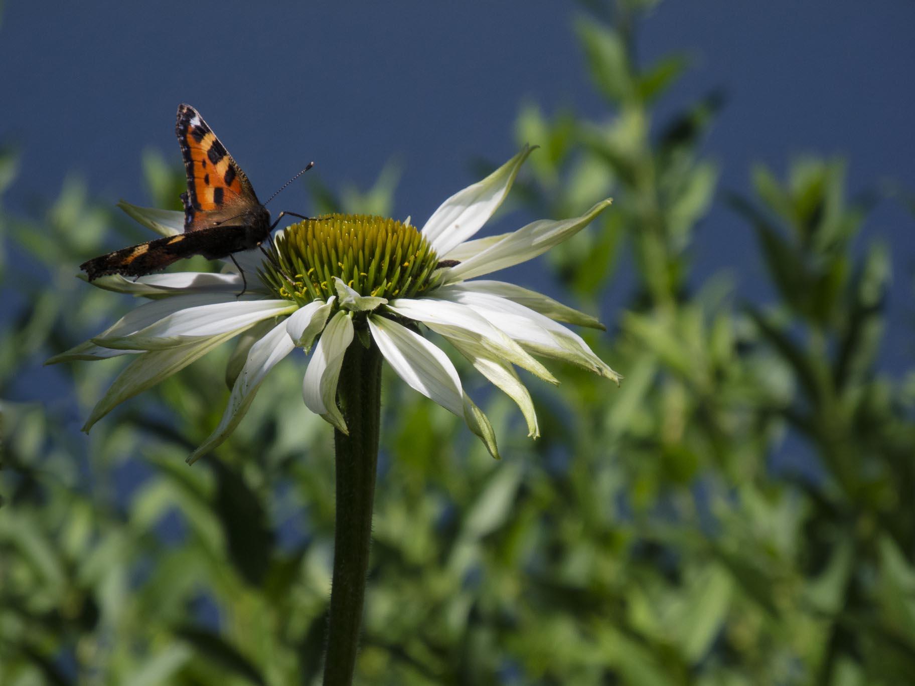 Sulla Collina, garden, butterfly